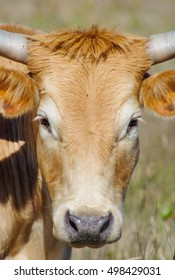 Closeup of Cattle
