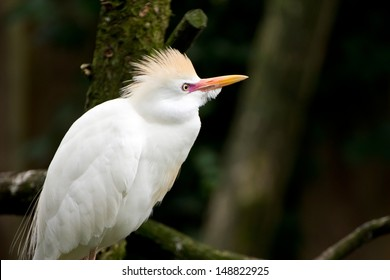 Close-up of a Cattle Egret