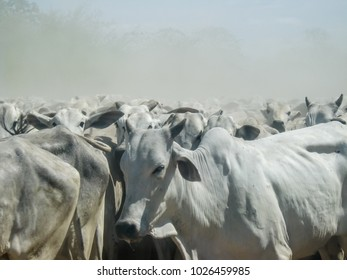 Closeup of cattle herding along dirty road, dusty background - Pantanal, Mato Grosso do Sul, Brazil