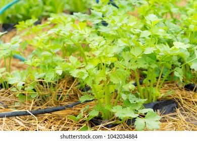 close-up of celery plantation (leaf vegetable) in the vegetable garden