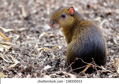 Closeup of central American Agouti (Dasyprocta punctata) back view sitting on ground