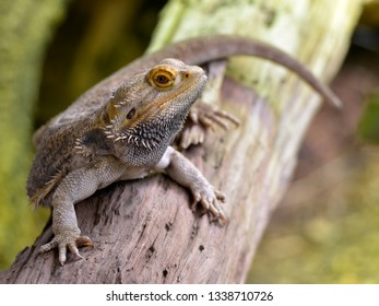 Closeup of central (or inland) bearded dragon (Pogona vitticeps) on branch