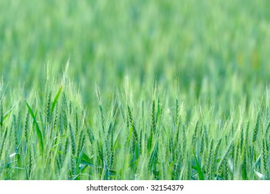 closeup of cereal field