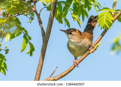 Closeup of a Cetti's warbler, cettia cetti, bird singing and perched in a green forest during Springtime season.