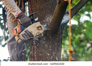 Closeup chainsaw in the hand of arborist cutting the branch of maple tree near the trunk, wood cheeps flying.  Tree surgery.