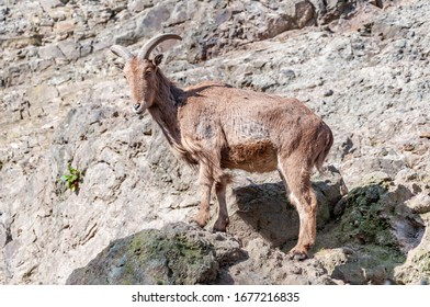 Closeup of chamois on rock. The chamois is a species of goat-antelope native to mountains in Europe