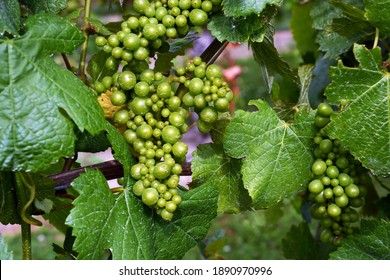 Closeup of Chardonnay Grape Vines in the Wairau Valley, Marlborough. Mid Summer bunches of green grapes ripening in the sun.