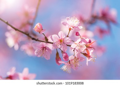 Close-up cherry blossom. Beautiful Pink Cherry Blossom Flowers with a shallow focus.