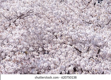 Closeup of cherry blossoms in full bloom