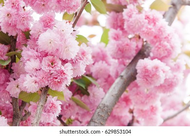 Closeup Cherry blossoms, pink flowers in Spring season.