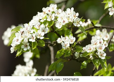 Closeup of Cherry Flower in Blossom in Spring