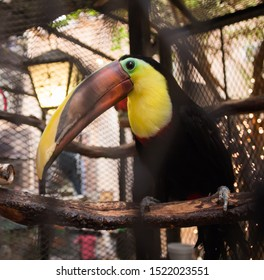 Closeup of a Chestnut Mandibled Toucan in a zoo