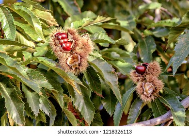 Closeup of chestnut tree showing chestnut cocoons ready to harvest.