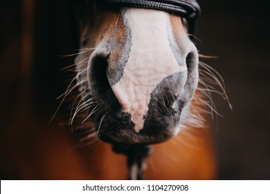 Closeup of a chestnut's horse's nose