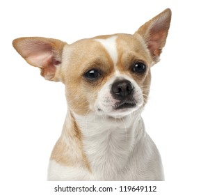 Close-up of Chihuahua, 2 years old, looking at camera against white background