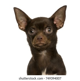 Close-up of a Chihuahua, 9 months old, isolated on white
