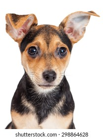 Closeup of Chihuahua Mixed Breed Three Month Old Puppy.  Large ears and black eyes are adorable.