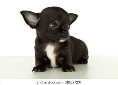Close-up of Chihuahua puppy sitting