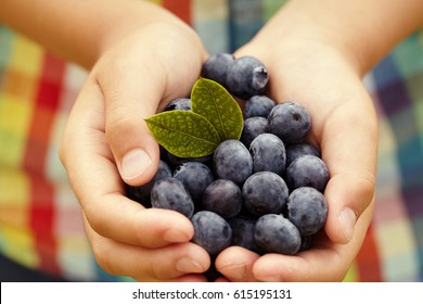 Close-up of childs hands holding fresh blueberries picked at blueberry