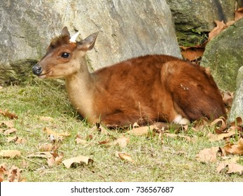 Closeup of Chilean Pudu Deer (Smallest Deer) Sitting - October 14, 2017.  Chilean Pudu Deer Sitting taken while visiting a Bergen County Zoo, New Jersey on October 14, 2017.