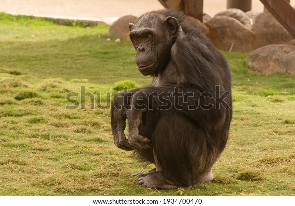 closeup-chimpanzee-animals-on-grass-600w