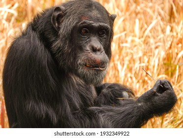 Closeup of a chimpanzee with a stick in his mouth