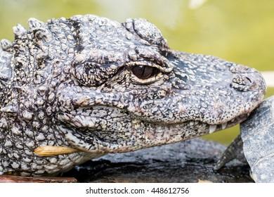 Close-up of a Chinese alligator (Alligator sinensis)