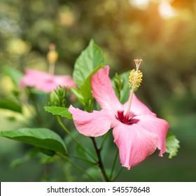 Closeup of Chinese Hibisci Rosae-Sinensis Flower