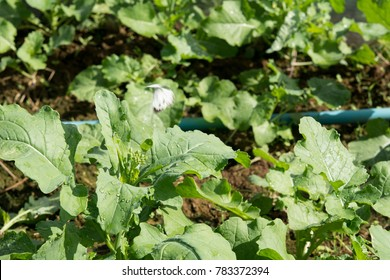 Closeup Chinese Kale vegetable in plantation
