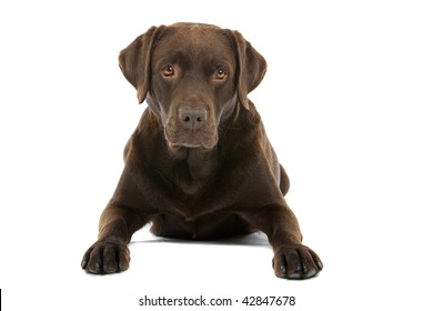Closeup of chocolate colored labrador retriever dog isolated on white background