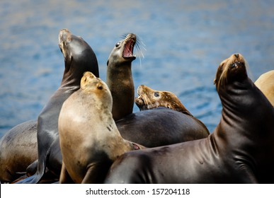 Closeup of a chorus of barking male and female sea lions, zalophnus californianus, resting on a channel marker off Catalina Island California