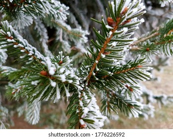 Close-up of Christmas tree branches in hoarfrost with warm background colors