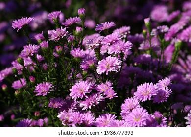 Nahaufnahme Chrysanthemum floraler Hintergrund (Dendranthemum grandifflora)