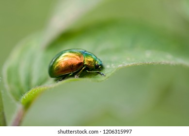 close-up of a chrysolina fastuosa on a green leaf