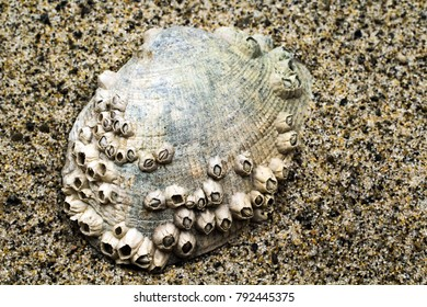 Closeup of a Clam Shell encrusted with Barnacles