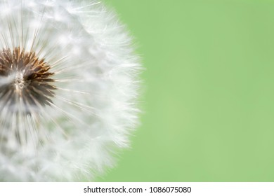 Close-up of a clock dandelion against a clean, pale  green background