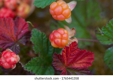 Close-up of a cloudberry (Rubus chamaemorus) shrub with orange fruits on stalk and colorful leaves. A wonderful cloudberry.