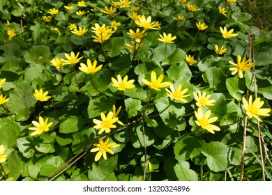 Closeup of clump of spring yellow flowers, Ficaria verna, (formerly Ranunculus ficaria L.) commonly known as lesser celandine or pilewort