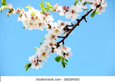 Closeup of a cluster of almond blossoms in full bloom