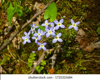 Closeup of cluster of bluet flowers (Houstonia caerulea) blooming in the spring.