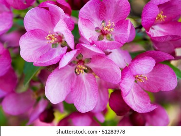 closeup of a cluster of bright pink blossoms on a tree