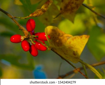 Closeup of a cluster of bright red berries on a spicebush (Lindera Benzoin) plant.