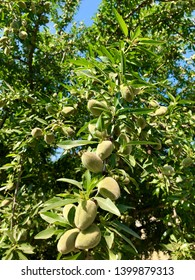 Closeup of a cluster of California almonds on the tree as they ripen.