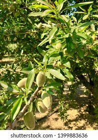 Closeup of a cluster of California almonds ripening on the tree.