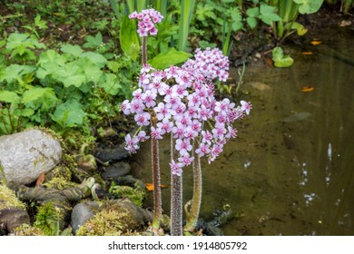 Closeup clusters of pink flowers of Darmera peltata at the edge of water. Focus on foreground with rocks and pebbles at water's edge, bog garden and pond soft in the background in spring.