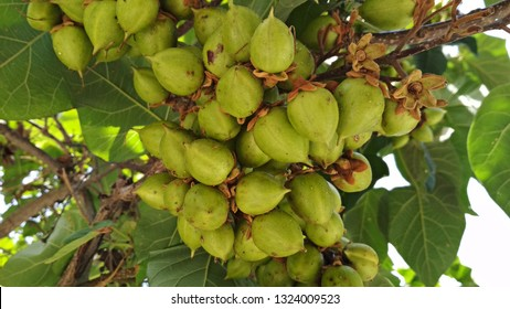 Close-up of clusters of yellowish green, nut-like fruits of Paulownia. Paulownia clusters of immature fruits are reminiscent of Macadamia clusters of nuts. Multitude of hazelnut-shaped fruits.