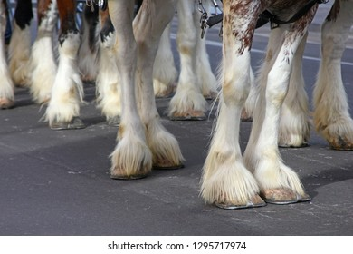 Closeup of Clydesdale hooves
