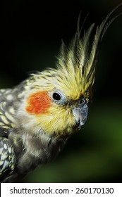 closeup of cockatiel
