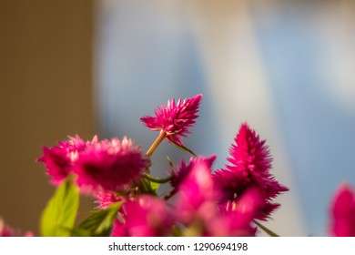 Closeup of a cockscomb Celosia Cristata, a young plant of the red flower is in the rays of the spring sun with variable focus