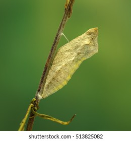 Closeup cocoon of butterfly (Papilio machaon)  on twig on green background. square composition. shallow dof